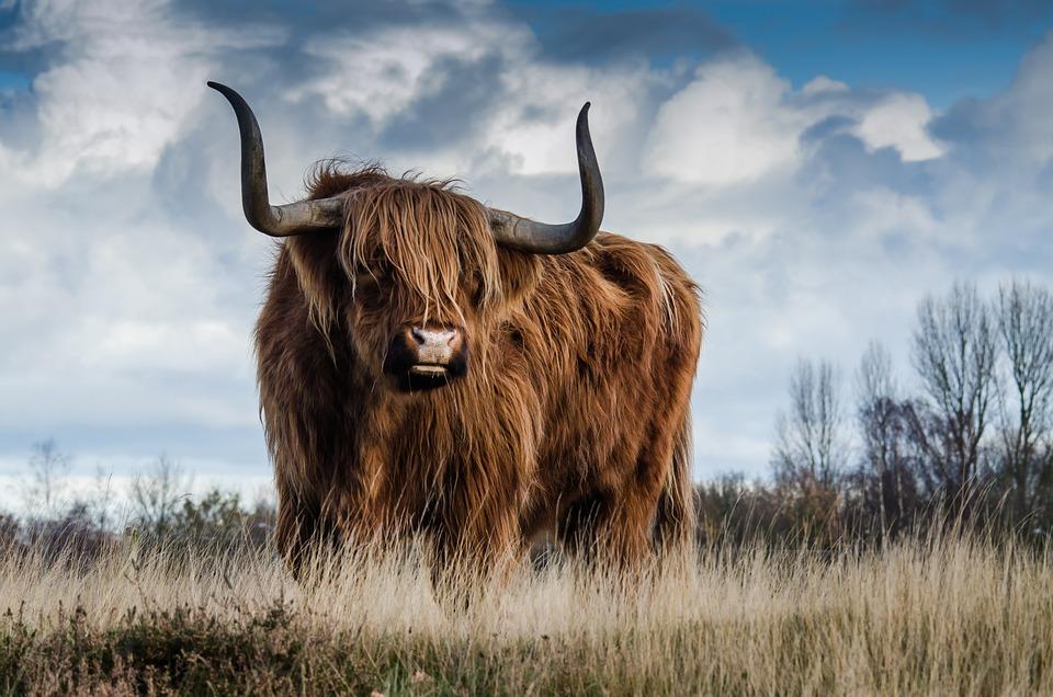 Bull, Landscape, Nature, Mammal, Animal, Meadow, Cattle