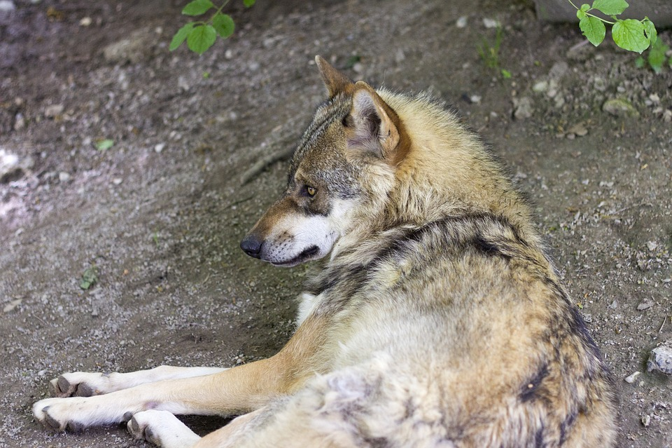 Wolf, Canis Lupus, European Wolf, Predator, Zoo, Mammal