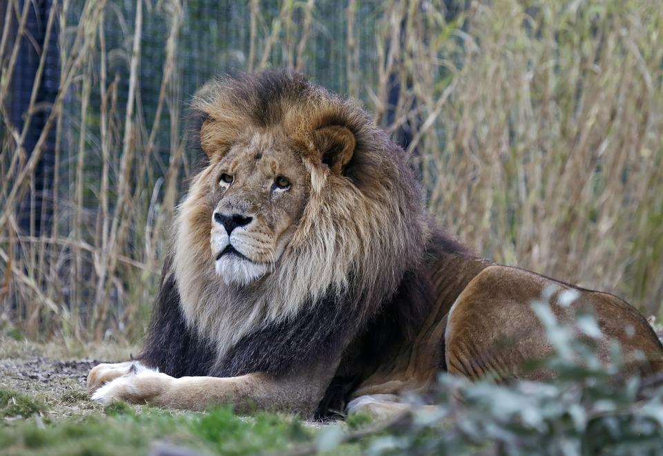 Lion, Wildlife, Mammal, Nature, Carnivore, Animal, Zoo
