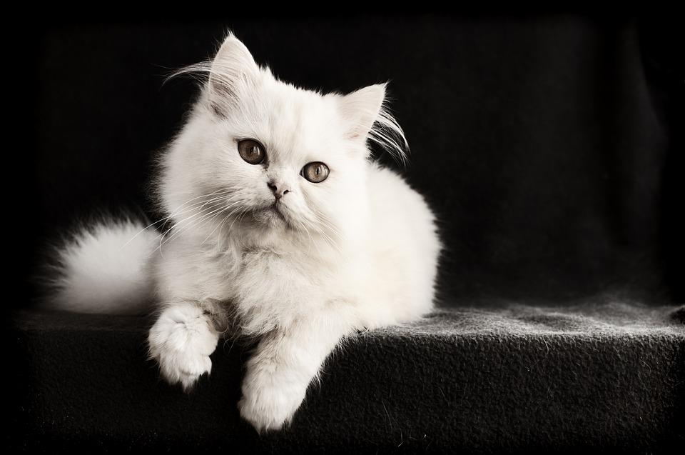 Cat, Mammal, Cute, Kitten, Pet, Portrait, Animal