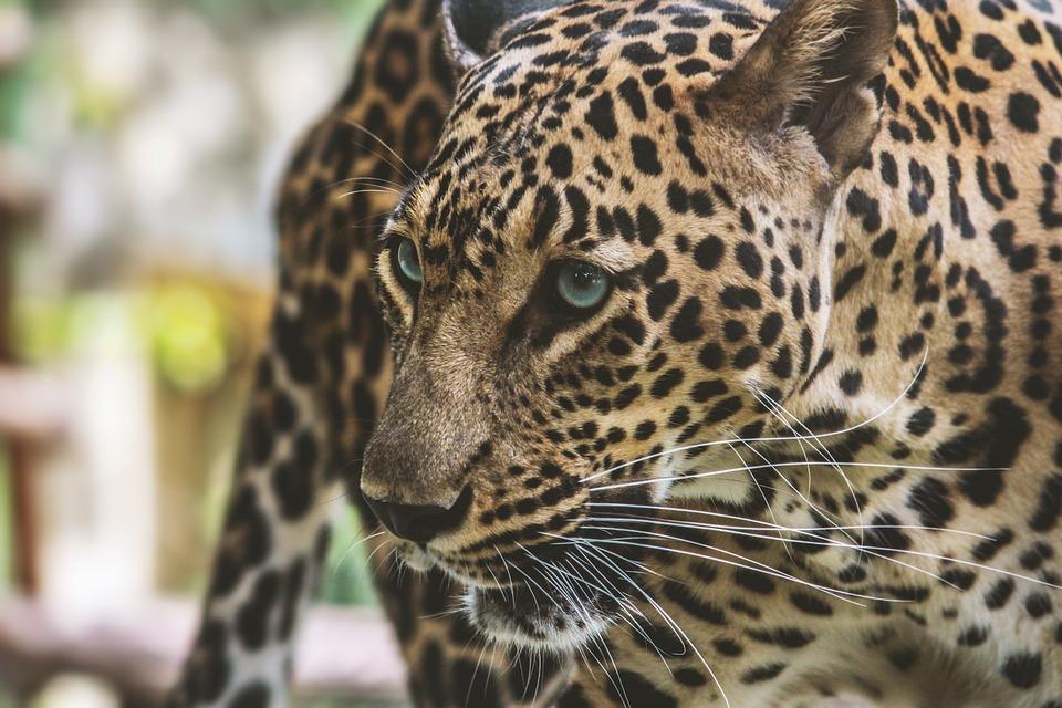 Mammal, Cat, Wild, Animal, Feline, Zoo, Predator