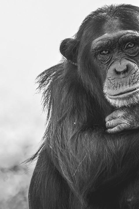 Ape, Chimpanzee, Mammal, Animal, Primate, Zoo, Nature