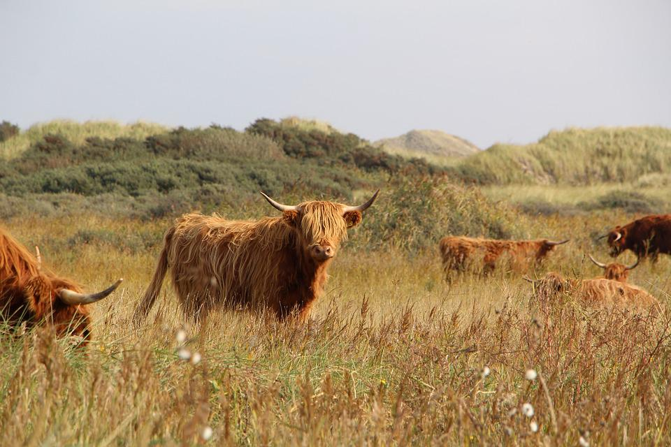 Highland Cattle, Cow, Meadow, Cattle, Animal, Mammal