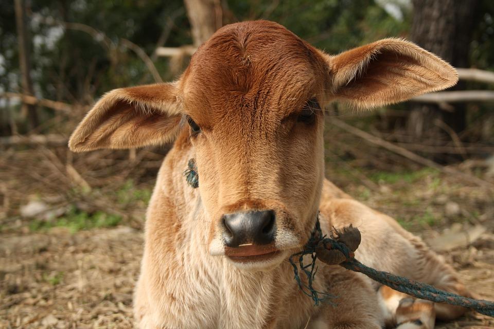 Animal, Mammal, Livestock, Farm, Nature, Cow, Zoo