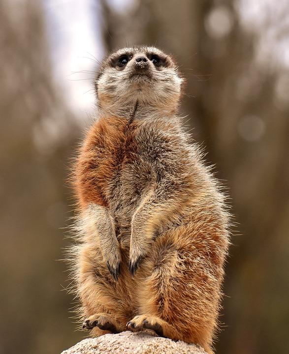 Meerkat, Animal, Tiergarten, Fur, Cute, Mammal