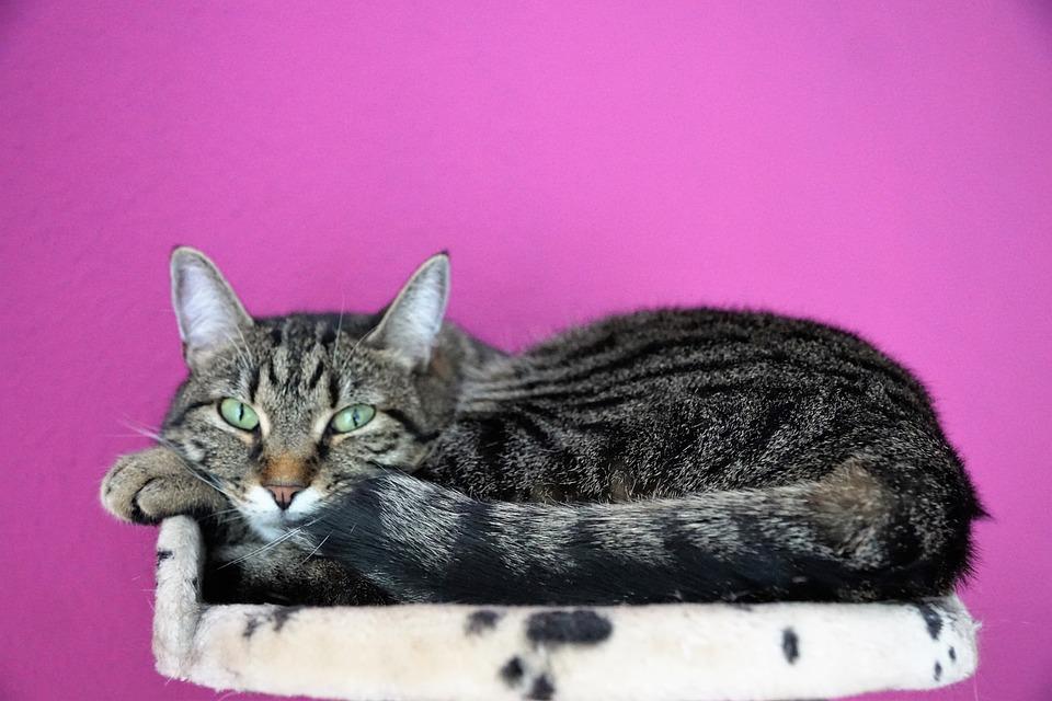 Cat, Cute, Animal, Mammal, Pet, Sweet, Tiger, Tigerle