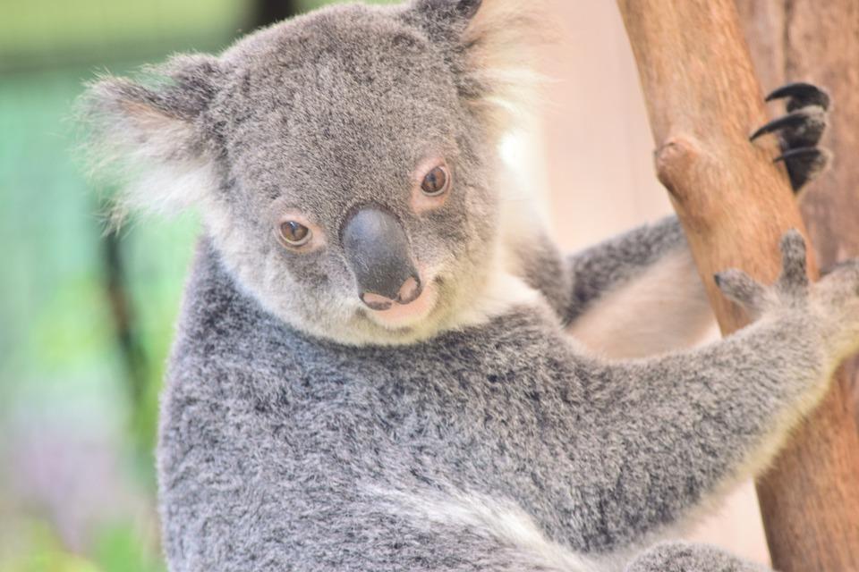 Koala, Nature, Wildlife, Mammal, Cute, Australia