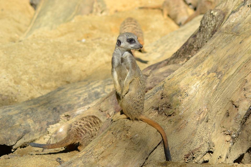 Meerkat, Animal, Mammal, Zoo, Cute, Fur, Nature