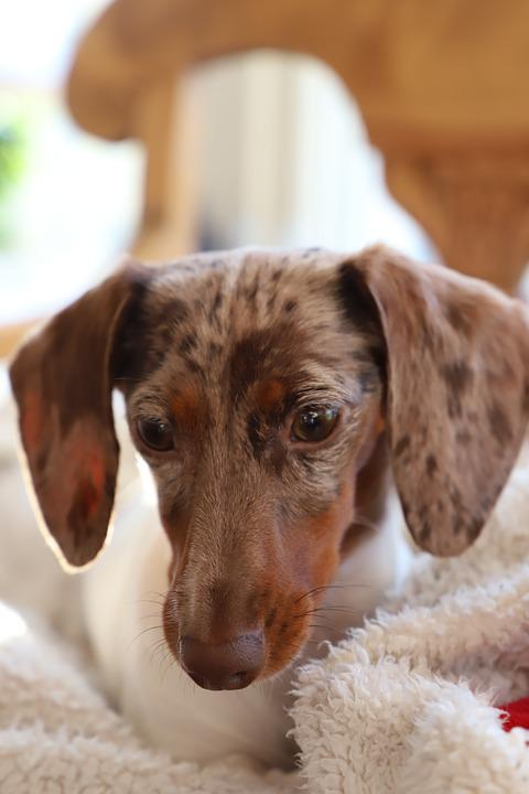Cute, Dog, Animals, Mammal, Pet, Puppy, Small, Domestic