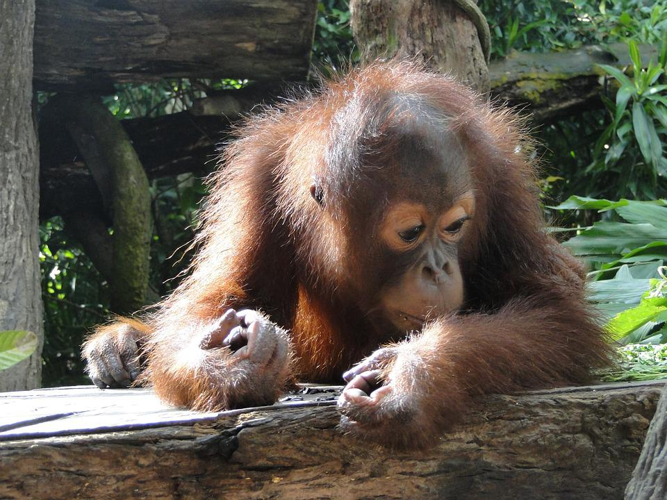 Animal, Baby, Orangutan, Cute, Sweet, Mammal, Nature