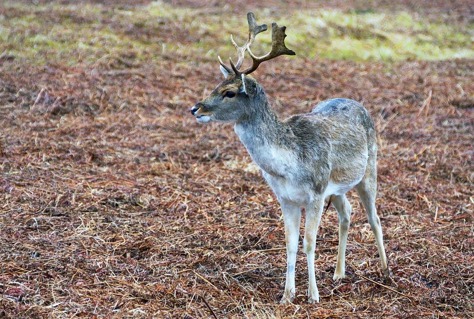 animals mammals red deer deer Cervus Cervus elaphus Minsmere ...