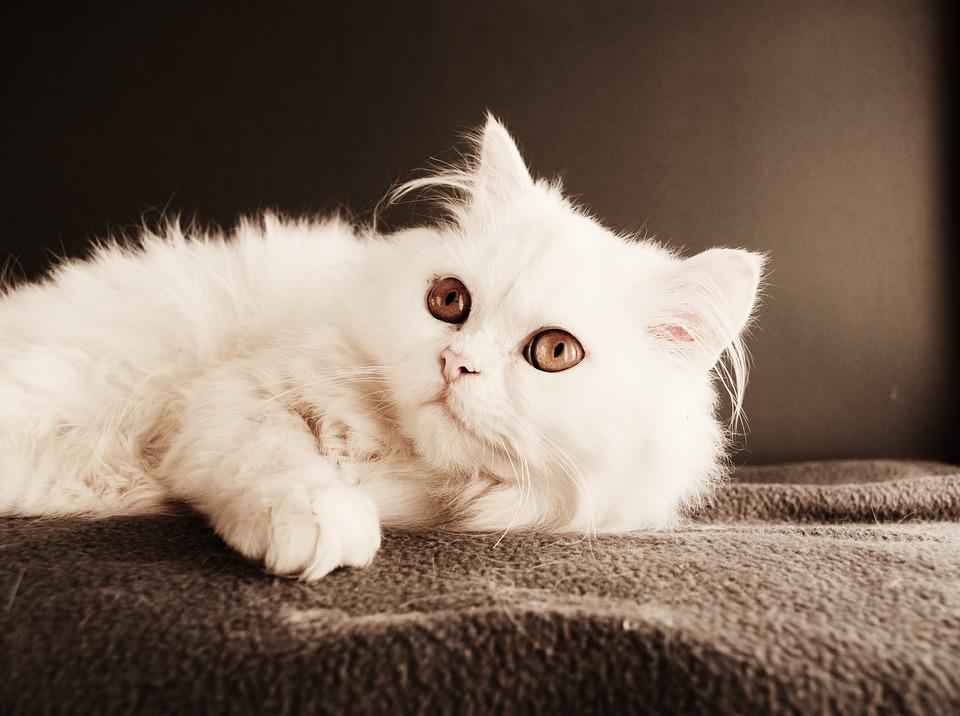 Cat, Cute, Kitten, Pet, Mammal, Animal, Domestic, Downy