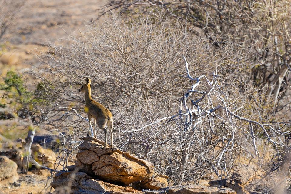 Steenbok, Africa, Namibia, Animal, Mammal, Dry, Nature