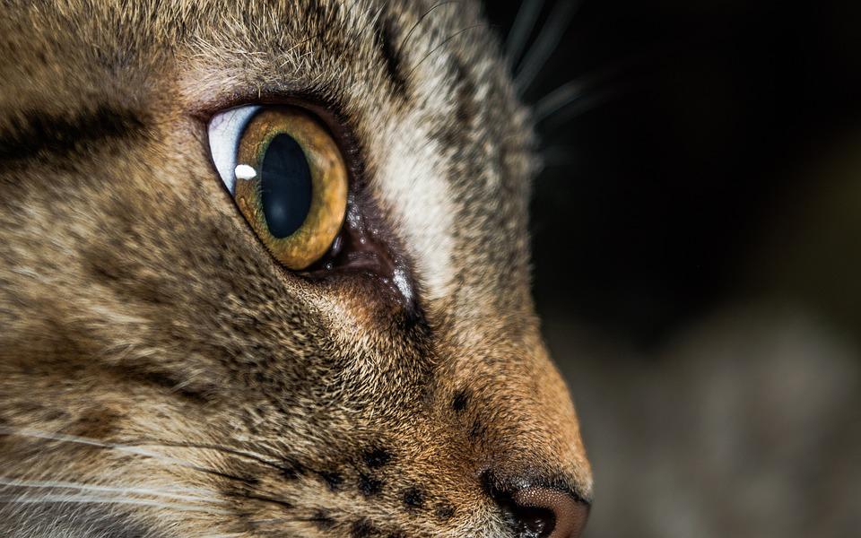 Cat, Mammal, Animal, Portrait, Cute, Nature, Eye