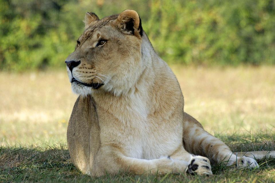 Fauna, Mammal, Lion, Nature
