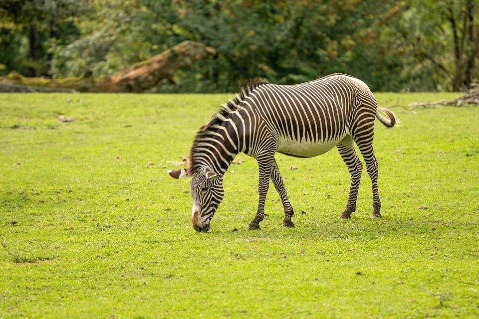 Zebra, Animal, Pasture, Grazing, Mammal, Equine, Field