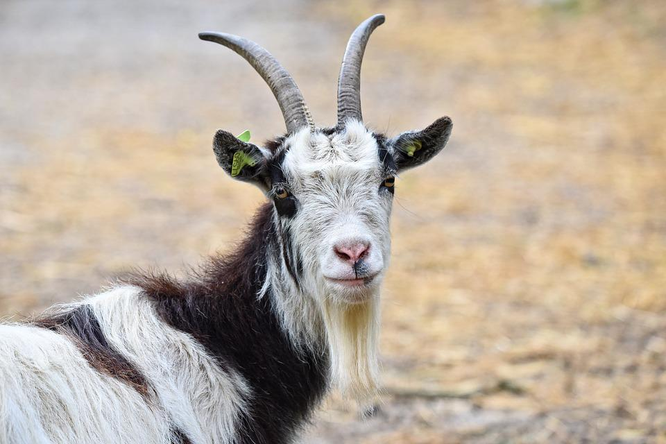 Goat, Domestic Goat, Animal, Mammal, Ruminant, Horns
