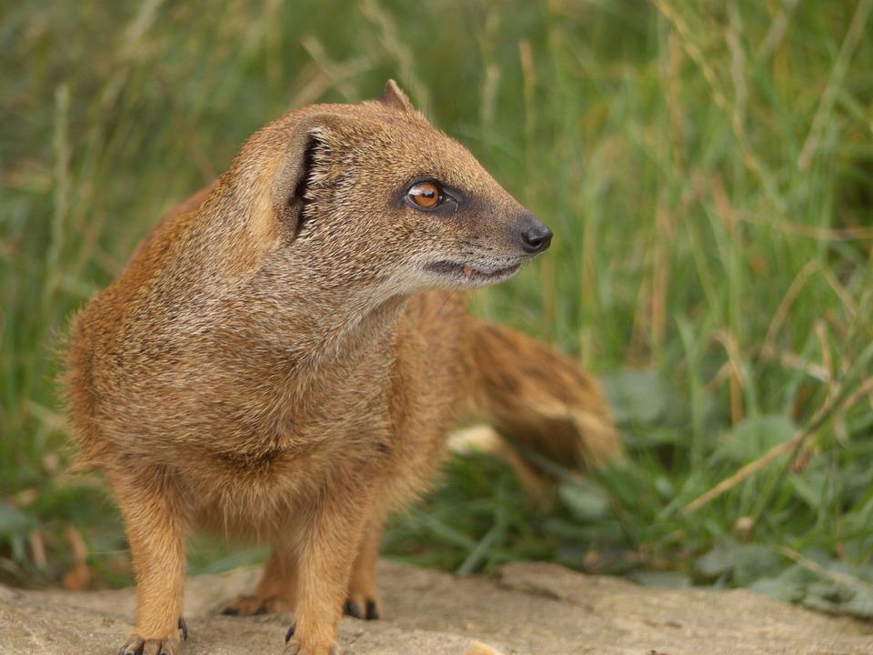 Mongoose, Golden Mongoose, Cute, Mammal, Brown, Animal