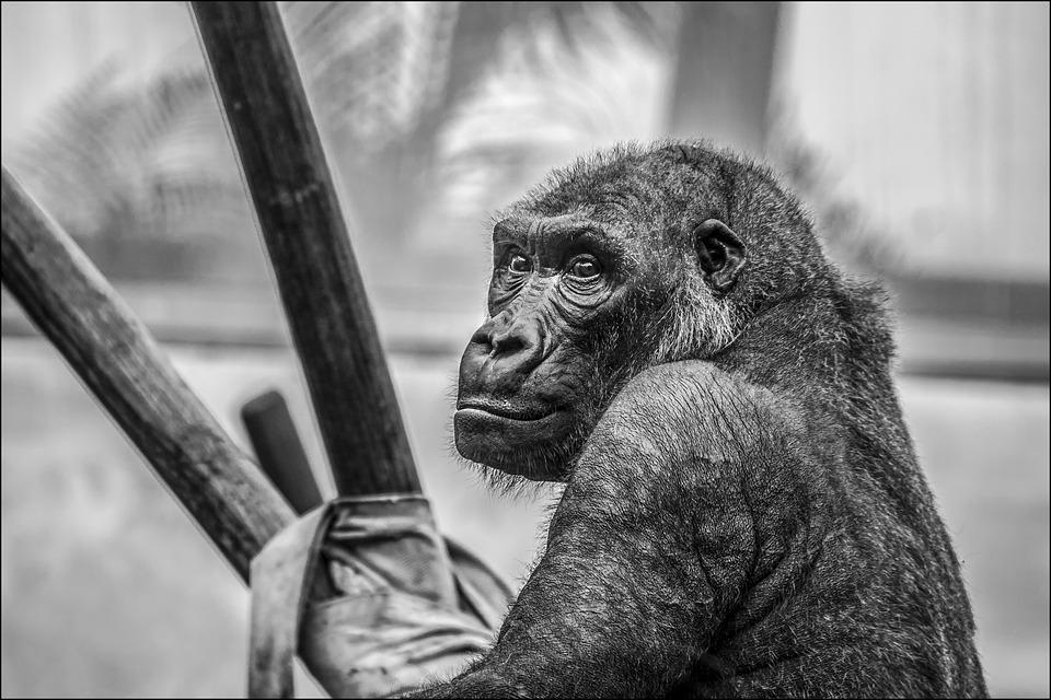 Gorilla, Zoo, Monkey, Mammal, Animals, Primate