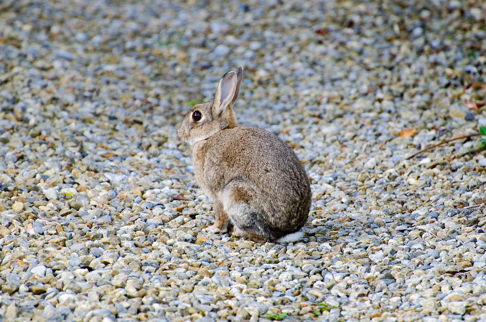 Rabbit, Mammal, Brown, Bunny, Grass, Gray, Munch