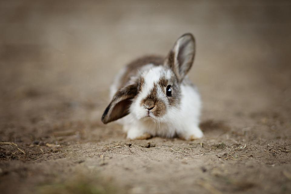 Rabbit, Ear, Hare, Easter, Ears, Easter Bunny, Mammal
