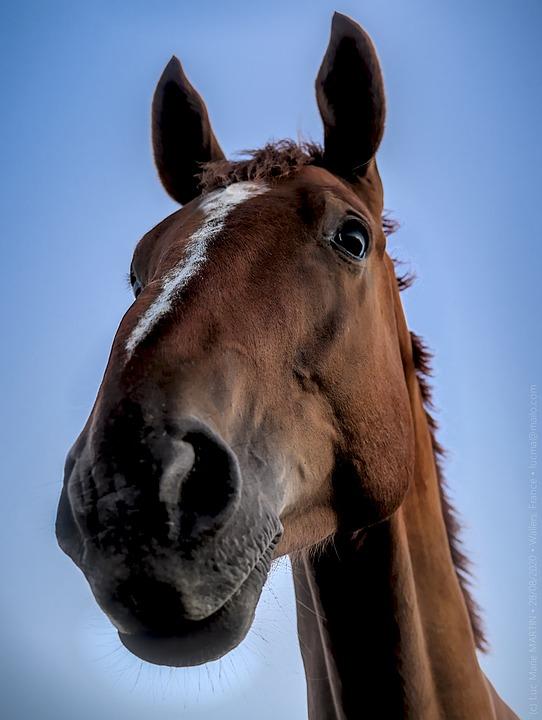 Horse, Equine, Equestrian, Mane, Mammal, Animal, Head