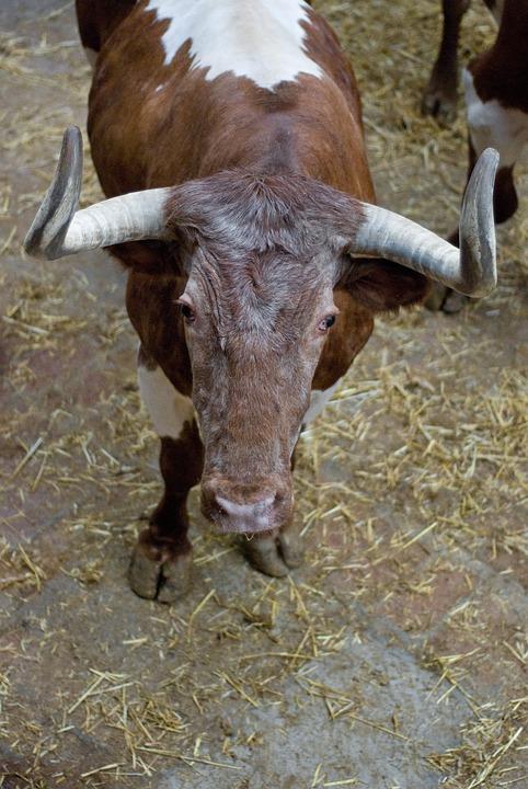 Bullfight, Bull, Head, Animal, Cow, Mammal, Beef