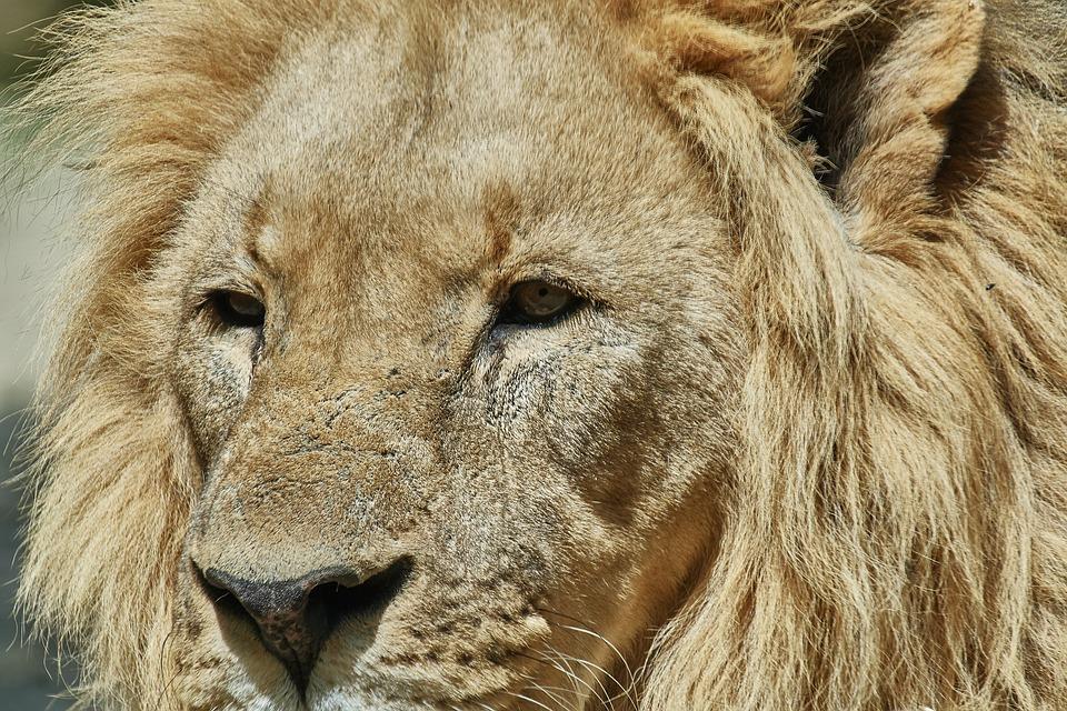 Lion, King, Mammal, Animal, Animal World, Fur