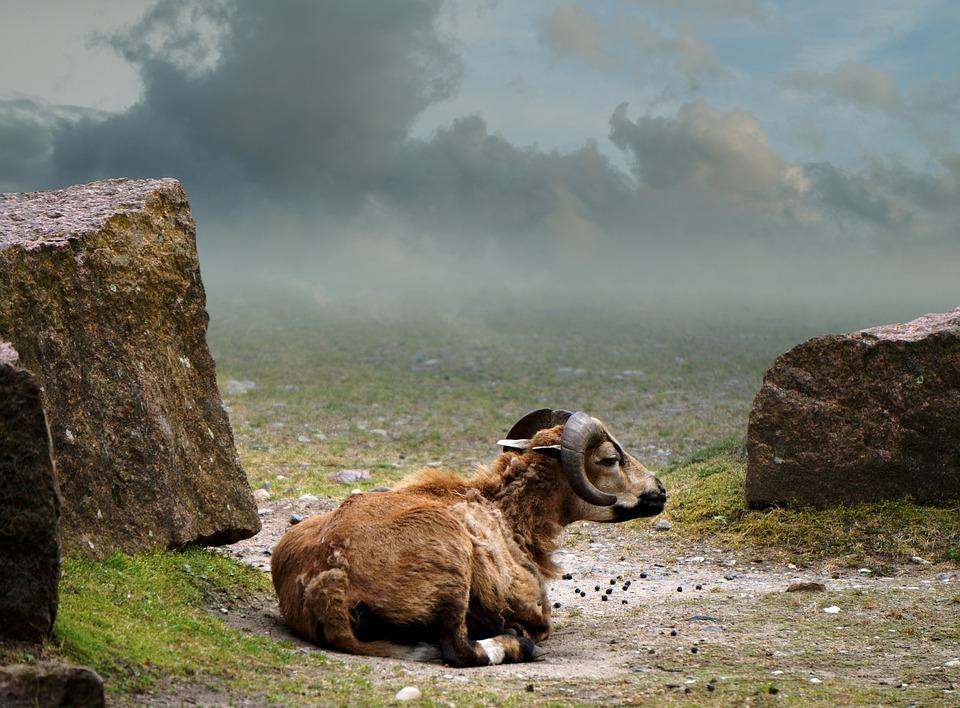 Cameroon Sheep, Landscape, Mammal, Green, Nature