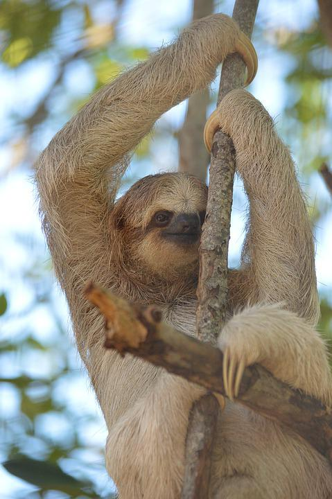 Sloth, Animal, Mammal, Tree, Lazy, Nature, Jungle