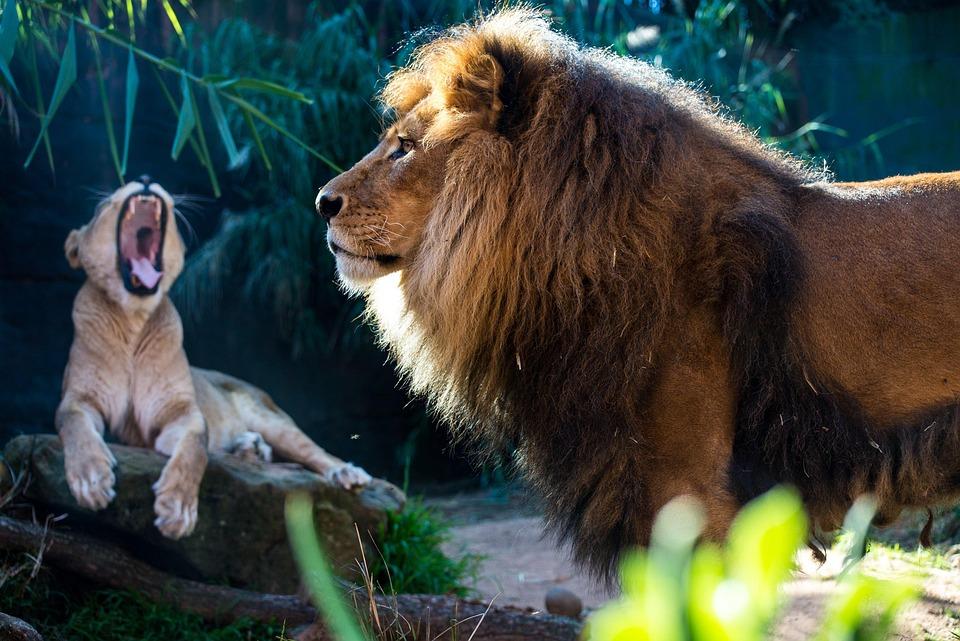 Lion, Lioness, Mammal, Animal, Nature, Wildlife