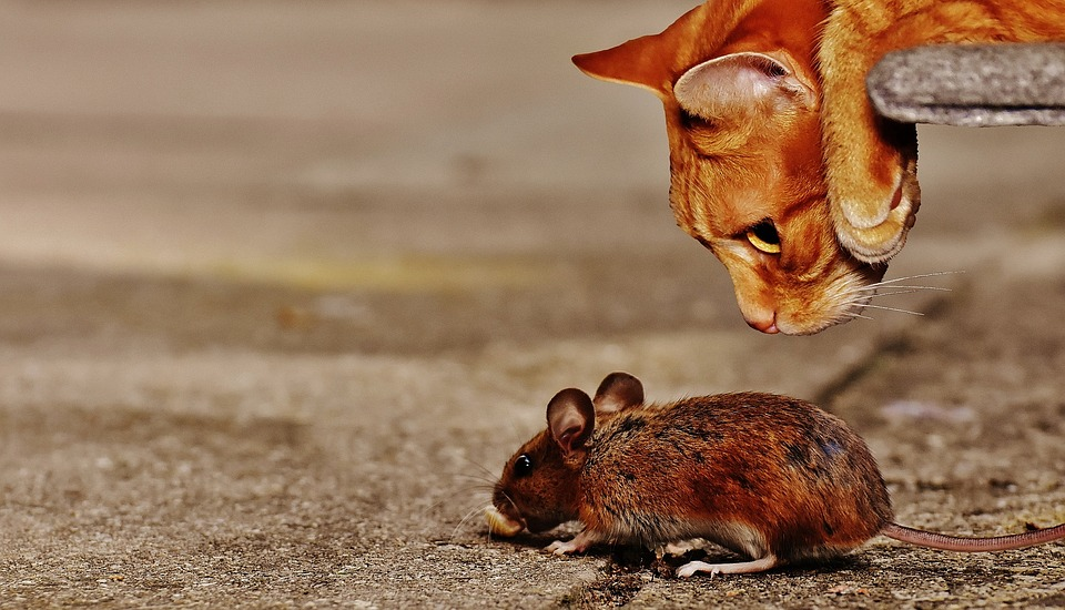Mouse, Wood Mouse, Cat, Lurking, Rodent, Mammal, Nature