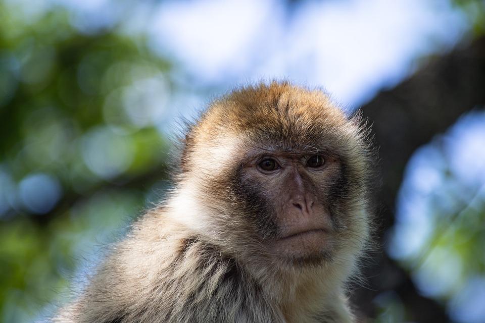 Barbary Ape, Monkey, Mammal, Animal, Animal World