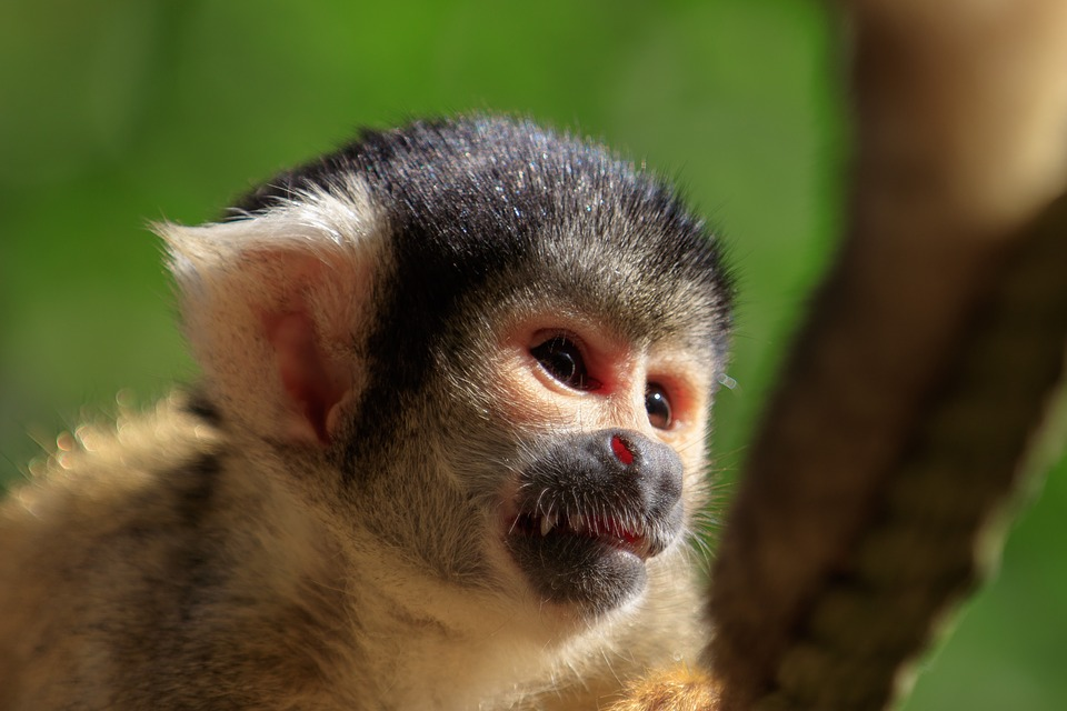 Monkey, Squirrel Monkey, äffchen, Mammal, Cute