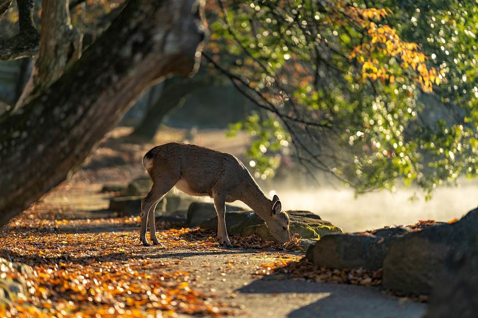 Sika Deer, Nara Park, Deer, Mammal, Autumn, Japan