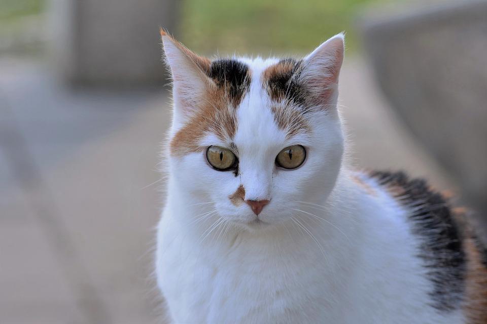 Cat, White, Animal, Cute, Mammal, Nature, Fur, Portrait