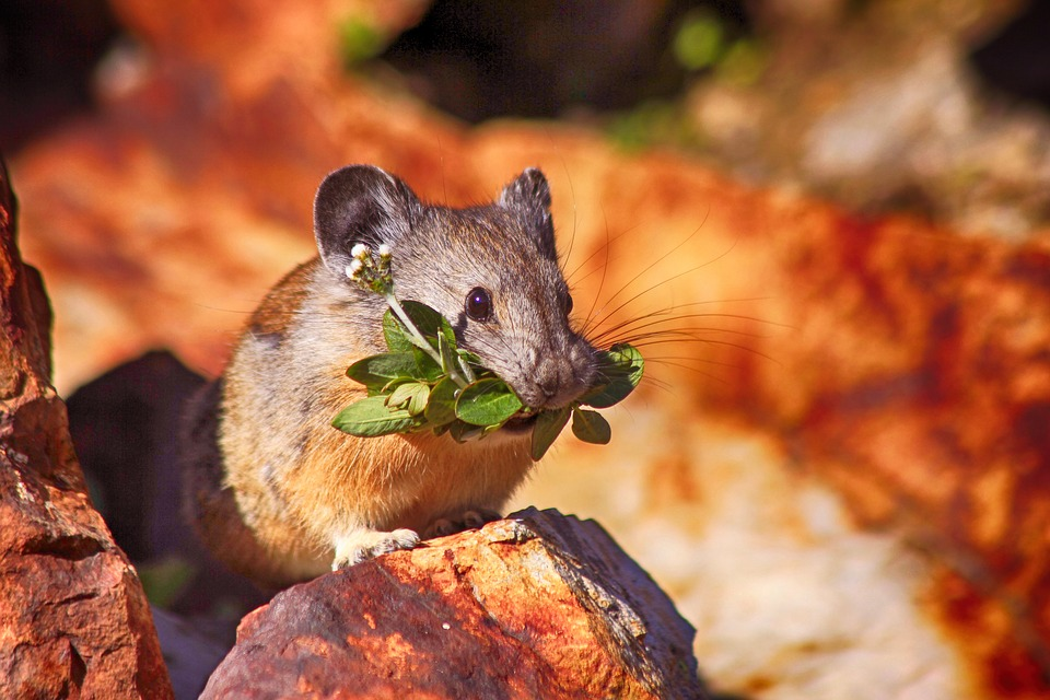 Mouse, Mammal, Rodent, Cute, Nature