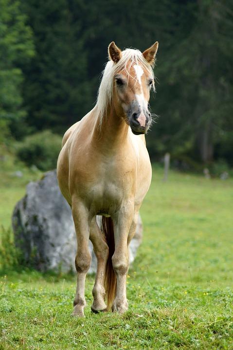 Horse, Animal, Nature, Mammal, Haflinger, Animal World