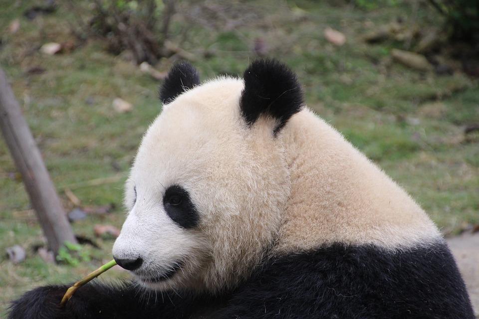 Panda, Panda Bear, Eat, Chucks, Relax, China, Mammal