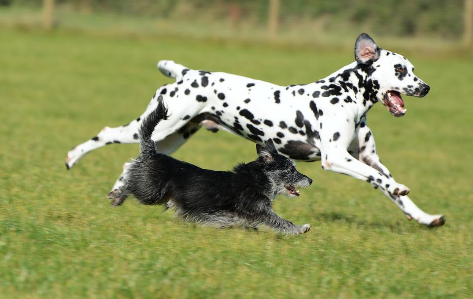 Dalmatian, Terrier, Dogs, Animal, Pet, Mammal, Playful