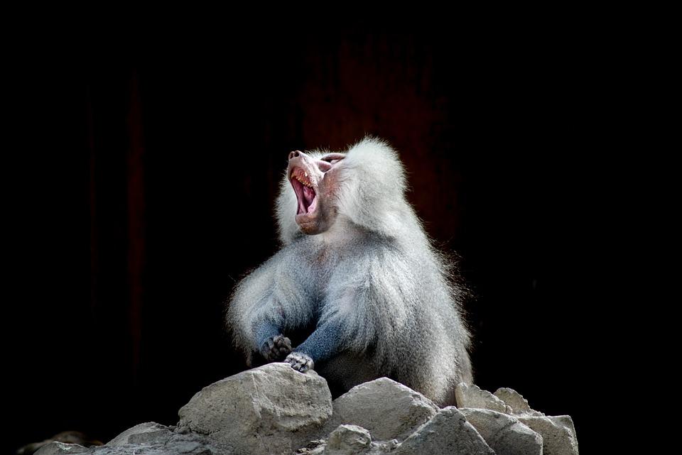 Baboon, Monkey, Yawn, Mammal, Wildlife, Primate, Mouth