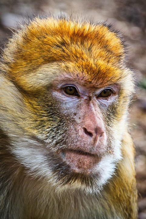 Barbary Ape, Monkey, Mahogany, Animal, Mammal, Primates