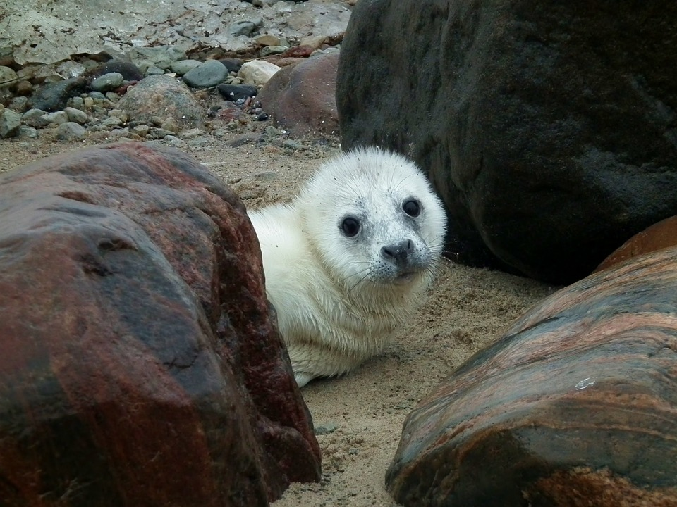Seal, Seal Puppy, Puppy, Animal, Wildlife, Mammal