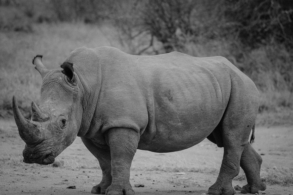 Rhinoceros, Safari, Rhino, Mammal, Animal, Wildlife