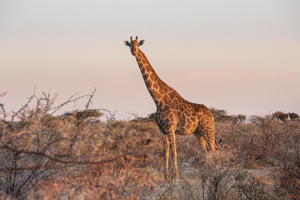 Giraffe, Animal, Safari, Giraffa Camelopardalis, Mammal