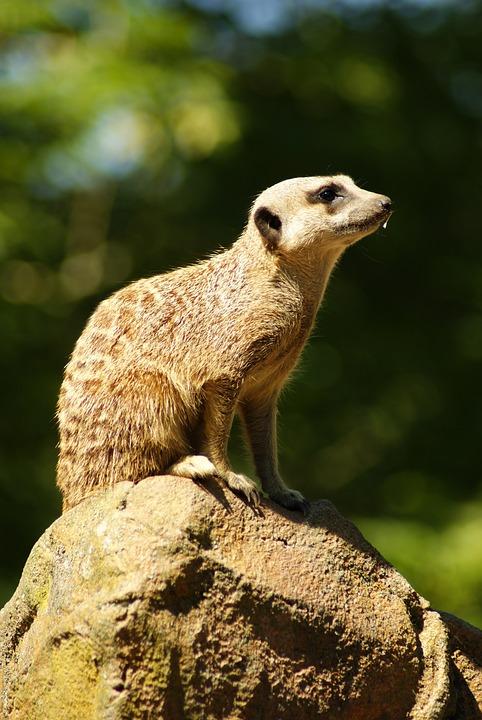 Meerkat, Animal, Zoo, Mammal, Sit, Guard, Portrait