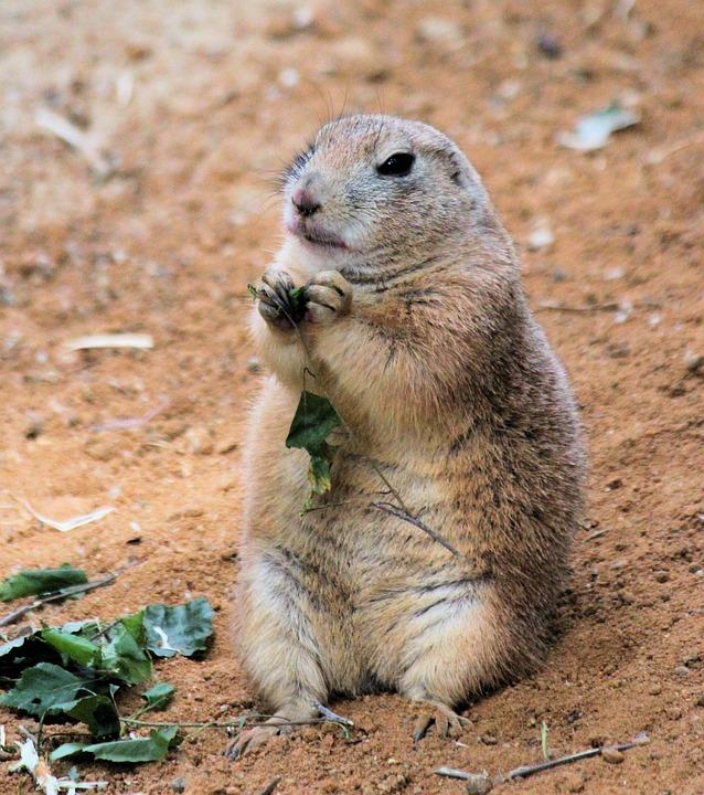 Prairie Dogs, Rodent, Animal, Mammal, Sitting, Sand