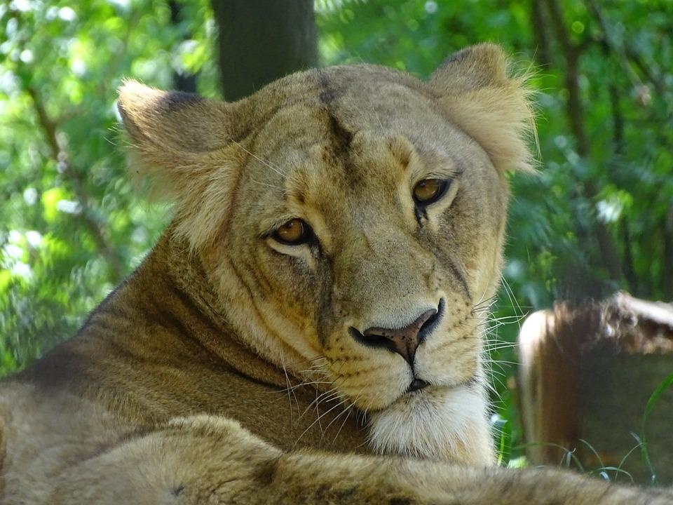 Lioness, Zoo Brno, Beast, Mammal, Animal, Zoo, The Lion