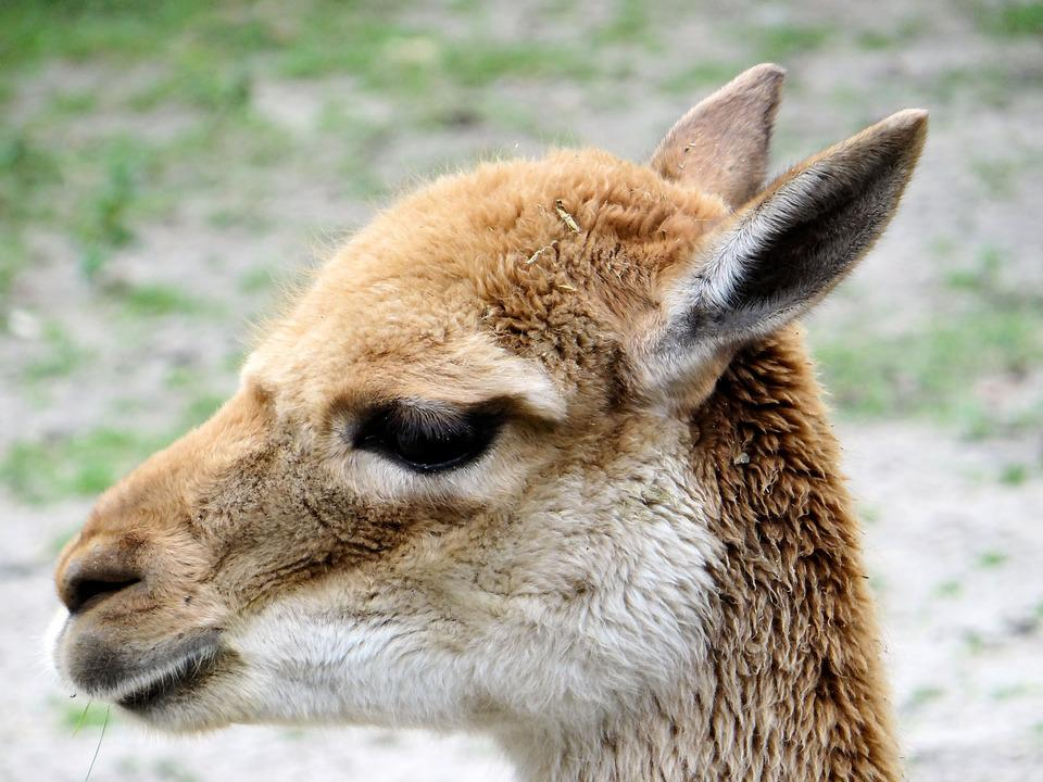 Wikunia, Camelids, Ungulates, Mammal, Animal, Fauna