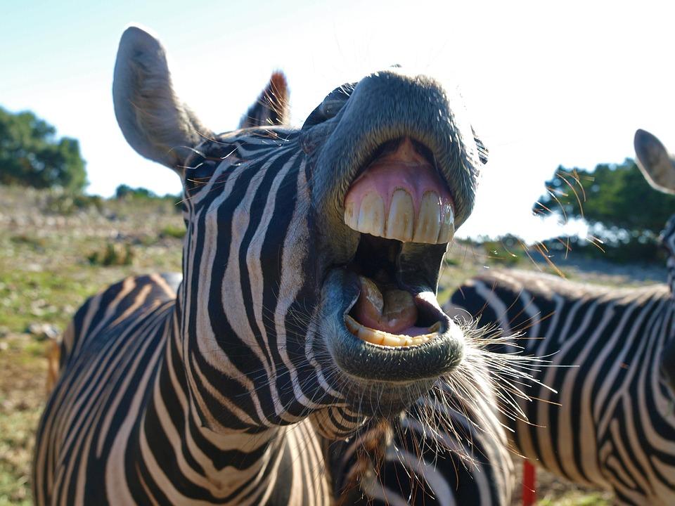Nature, Animal, Wildlife, Wild, Zebra, Mammal, Head